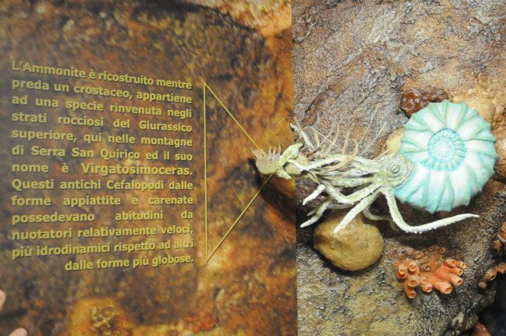I nostri Fossili - Ammonite e crostaceo