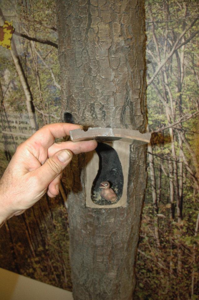 Alberi Appenninici - Particolare con nido di Picchio