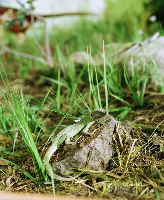 Particolare del diorama Prati e Cespugli con ramarro