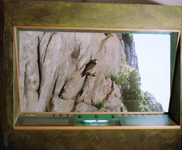 Il falco pellegrino sulla rupe calcarea