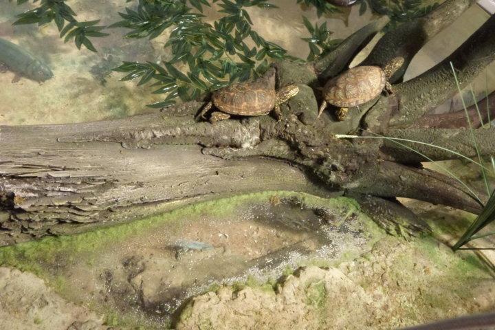 Le Tartarughe palustri del diorama del Lago di Serranella