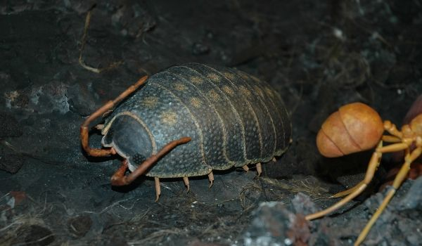 modello di un trilobite