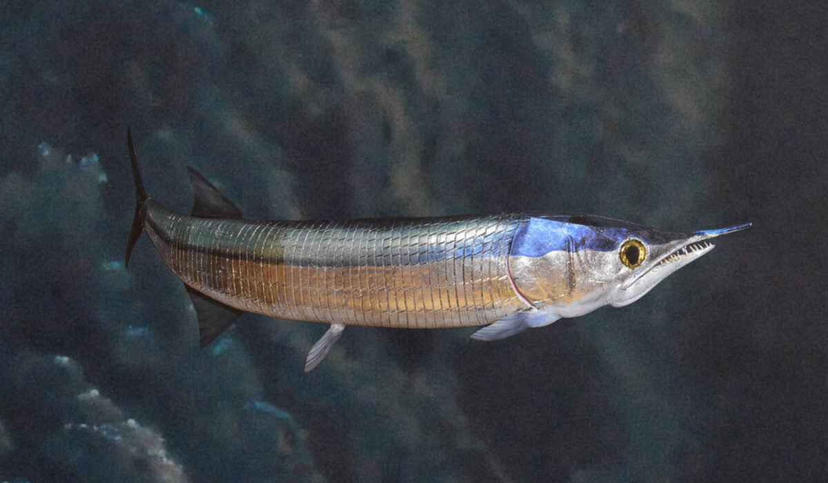 Aspidorhynchus acutirostris -Allestimenti Museali
