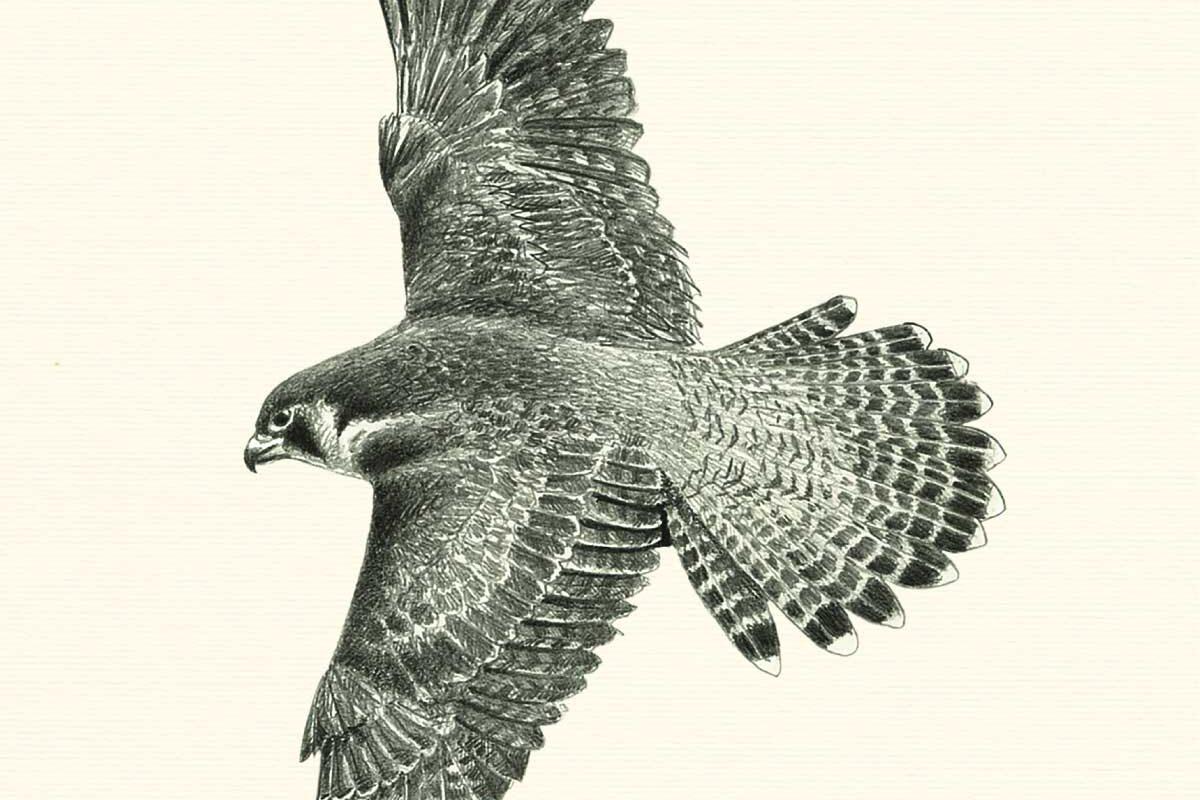 Falcus-peregrinus-Allestimenti-Museali