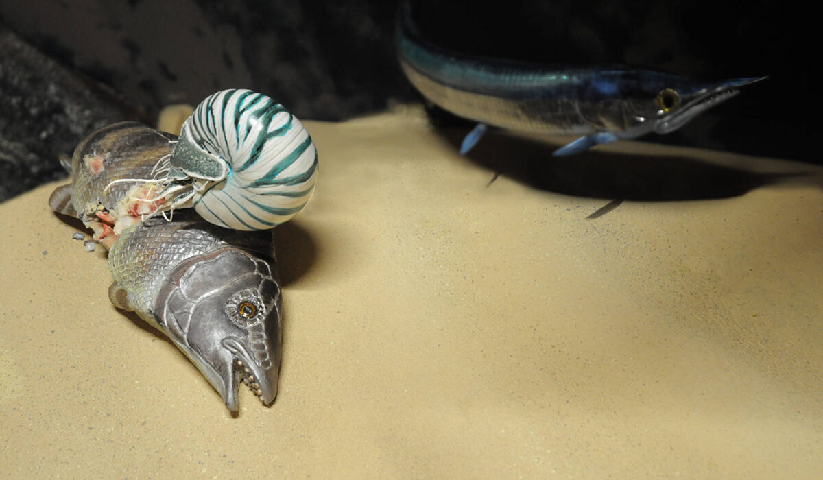 Nautiloide su Lepidotes -Allestimenti Museali
