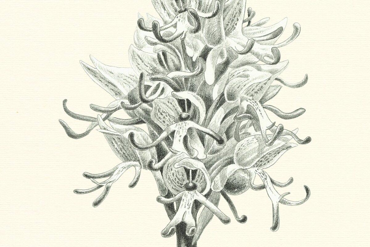 Orchis simia Allestimenti Museali