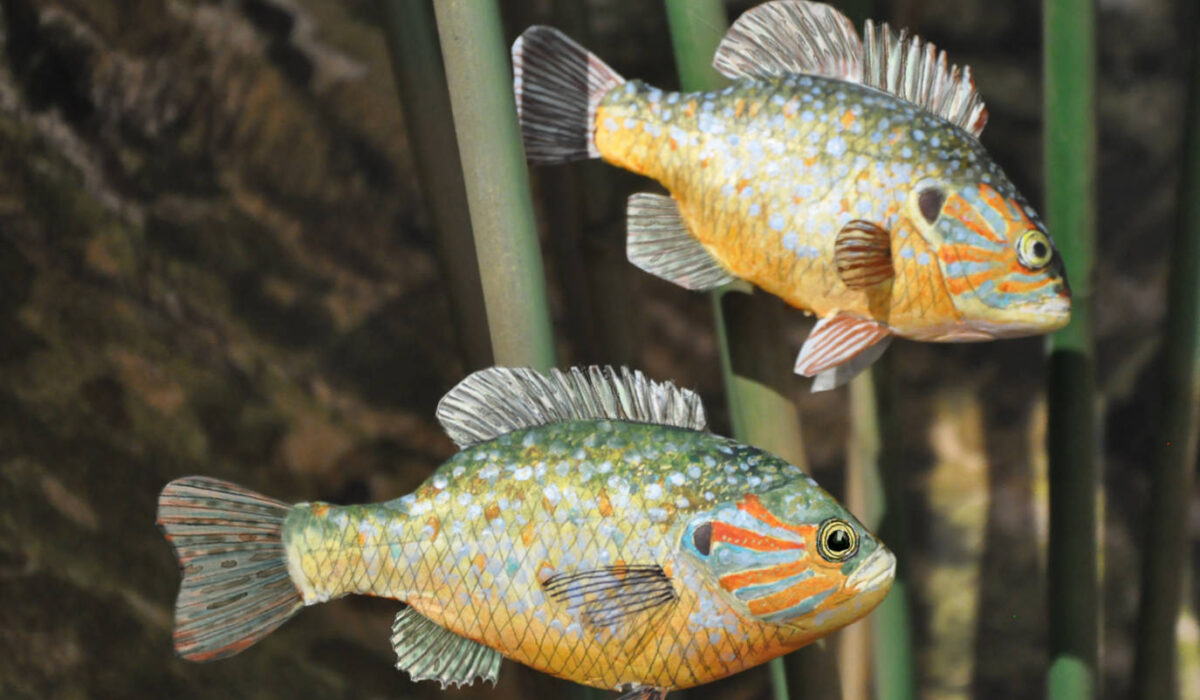 Persico trota -Allestimenti Museali