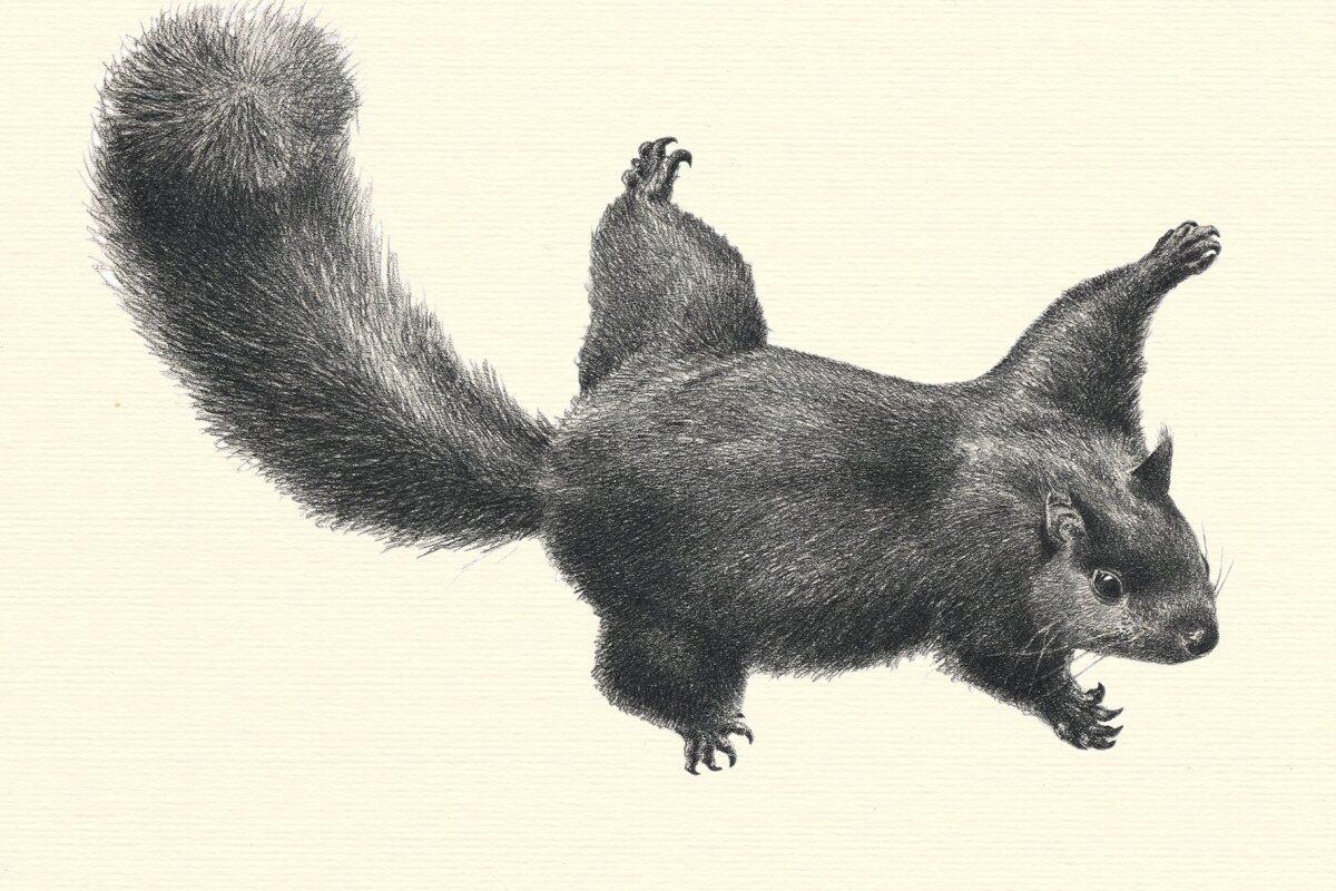Sciurus vulgaris Allestimenti Museali