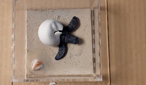 Caretta caretta con teca - Modelli Finzioni Exhibits